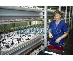 Сбор грибов в теплице